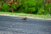 foto of zebra crossing  - Zebra Dove crossing the road in Hawaii island - JPG