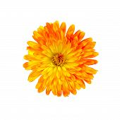 Calendula Orange-yellow