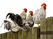 Roosters on fence.