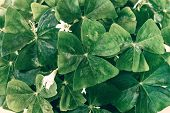 Oxalis Shamrock Background