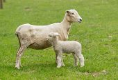 Cute Lamb And Mother Sheep In Meadow