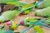 Parakeets feeding
