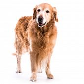 Golden retriever dog posing in studio. Isolated on white background