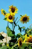Sunflowers on sky background