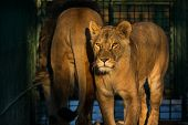 Lion couple in Zoo close up