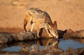 A black-backed Jackal (Canis mesomelas) drinking water, Kalahari desert, South Africa