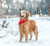 retriever walk at the snow in winter park