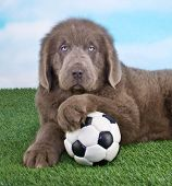 image of newfoundland puppy  - A sweet Newfoundland Puppy that looks like he is ready to play Soccer - JPG
