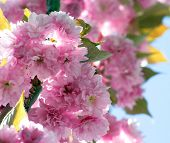 Close up of the spring cherry flowers