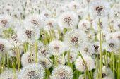 Dandelions in a field
