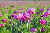 A Field Of Purple Peonies In Blossom