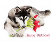Birthday postcard.Cute husky puppy, isolated on white