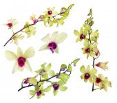 set of light yellow orchid flowers with purple centers isolated on white background