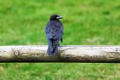 stock photo of caw  - Crow sitting on a wooden fence against a green background - JPG