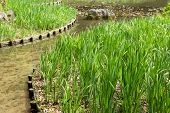 The green grass gardening in the pond of Heian Jingu Shrine in Kyoto.