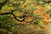 Red maples and pines planted on the shore in a Japanese garden near Heian Shrine.
