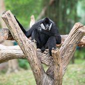 Black Gibbon