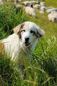 stock photo of mustering  - Sheepdog guarding a flock of sheep herd - JPG