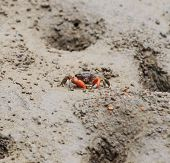 Thai Venegar Crab In A Mangrove Forest