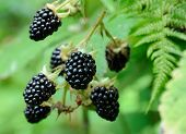 Berries Of Blackberry On The Bush