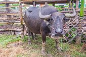 picture of carabao  - Water Buffalo in a farm with the beautiful horns - JPG