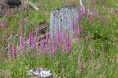 Many Foxglove flowers in the meadow