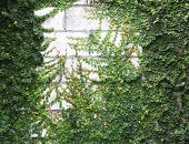 pic of climber plant  - The Green Creeper Plant on the Wall - JPG