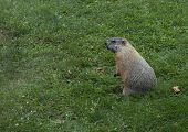 picture of groundhog  - A groundhog stands on his back legs in the green grass - JPG