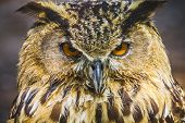 raptor, beautiful owl with intense eyes and beautiful plumage