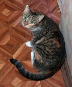 Tricolor Cat Sitting On Floor Near The Wall