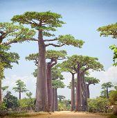 Baobab trees and rural road at sunny day. Madagascar