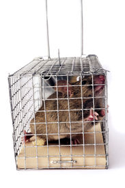 picture of mouse trap  - Scoop or mouse trap with a mouse trapped with a piece of bread - JPG