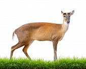 pic of white bark  - barking deer with green grass isolated on white background - JPG