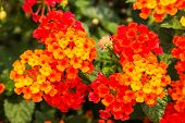 image of lantana  - Beautiful Colorful Hedge Flower Weeping Lantana Lantana camara Linn in the garden