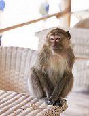 Monkey portrait on a table
