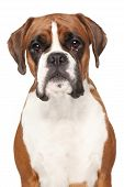 picture of boxers  - Boxer dog - JPG