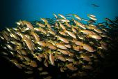 School of Snapper fish on coral reef in ocean