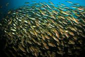 image of shoal fish  - School of Snapper fish on coral reef in ocean - JPG