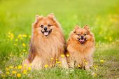 Two Pomeranian Dog In Summer