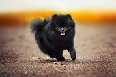 Black Pomeranian Spitz Puppy Playing