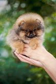 Hands Holding Cute Pomeranian Puppy