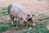 Free Roaming Pig