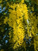 Laburnum anagyroides or golden rain plant