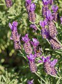 Purple lavander plant