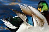 Beautiful Feathers Of A Mallard Duck