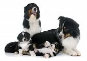 image of shepherds  - purebred australian shepherd family in front of white background - JPG