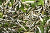 stock photo of silk worm  - silkworms eating mulberry leaf closeup nature silk worms - JPG