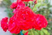 Rose Garden, Summer Time