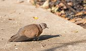 Spotted dove standing for  sunbathe