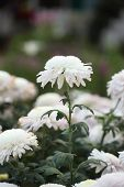 Beautiful Chrysanthemums Flowers In The Garden